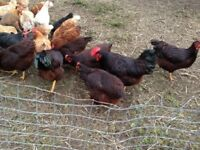 Rhode Island Red Hens and Roosters