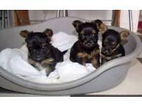 Yokie pups