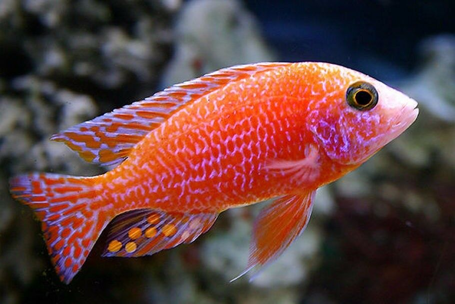 Red Dragon Blood African Cichlids - 5-6 Inches