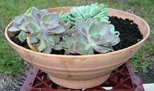 Pot of succulents Arcadia Hornsby Area Preview