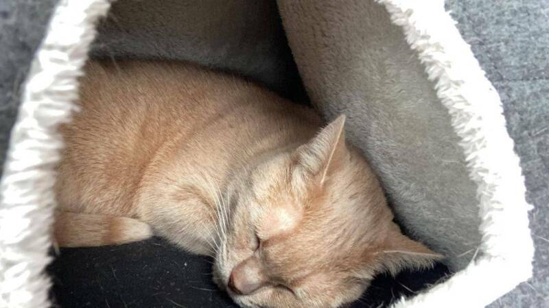 Whisky And Cheddar Cats Kittens Gumtree Australia North Sydney Area Neutral Bay 1255112641