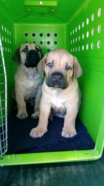 boerboel - South African Mastiff | Dogs & Puppies | Gumtree