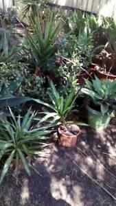 Cordyline plants in pots