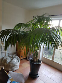 Large Indoor Palm Tree