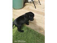 Gorgeous black Labrador puppies for sale.