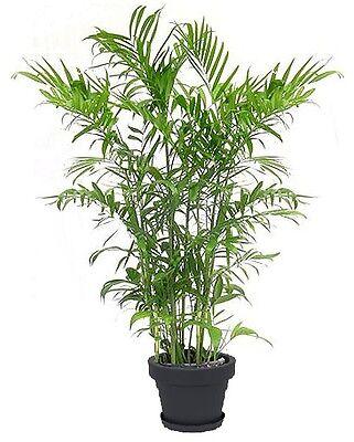Goldfruchtpalme mediterrane Pflanze große exotische Zimmerpalme für die Wohnung ()