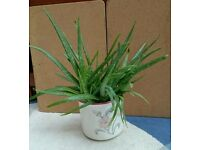 Indoor Aloe Vera Plant in Ceramic Pot