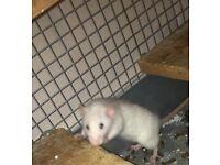 Rat:(