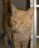 """Young Male Cat - Domestic Short Hair: """"Bennett 15 (BC)"""""""