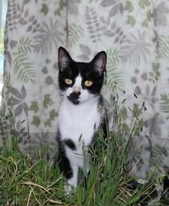 Young Female  - Domestic Medium Hair (Black & White)