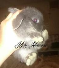 PUREBRED BABY MINI LOPS ETHICALLY BRED VACCINATED &WORMED - READ: Kurrajong Hawkesbury Area Preview