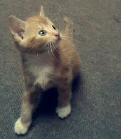 4 kittens 3 ginger and 1 mixed