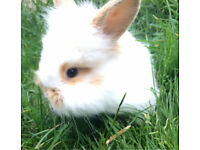 Baby lionhead bunnies for sale!! Ready now!!