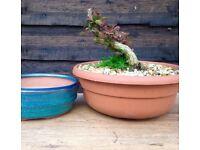 Lovely Mame Berberis thunbergii with Free Bonsai Pot