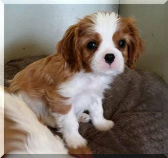 Wanted : Cavalier King Charles Puppy