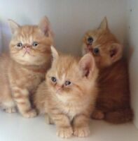Exotic short hair kittens