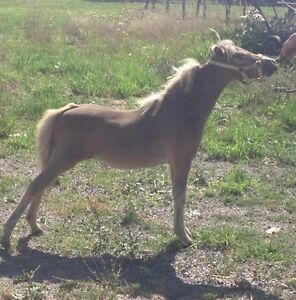 Miniature horse show filly