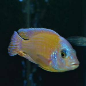 ½ Price Sale Lemons / Tangerines Peacock African Cichlid Display Males