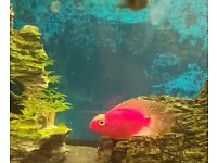 Super red parrot fish