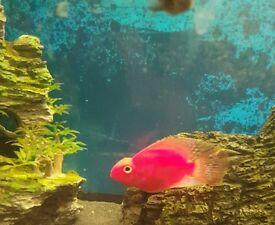Super red parrots fish cichlid