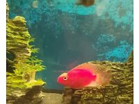 Super red parrots fish cichlid