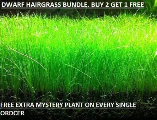 Dwarf Hairgrass Eleocharis Parvula Live Aquarium Plants BUY 2 GET1 FREE