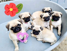 Pug puppies miniature Ready to go