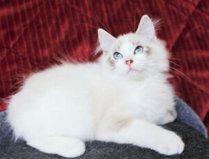 Ragdoll Bi-Coloured Kittens