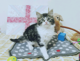 Siberian mixed kittens 😻❤