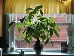 "Money Tree Plant 29"" Tall & Large Christmas cactus Plant"
