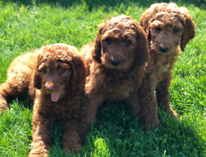 Red and Apricot Golden Retriever - Standard Poodle Cross
