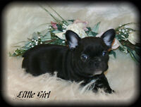 C.K.C. REGISTERED FRENCH BULLDOG PUPPY- ABSOLUTE TREASURE