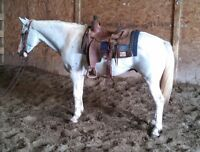 8 YEAR OLD--15 HAND GELDING--KID SAFE RANCH AND TRAIL*VIDEO*