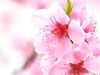Cherry Blossom Massage Therapy