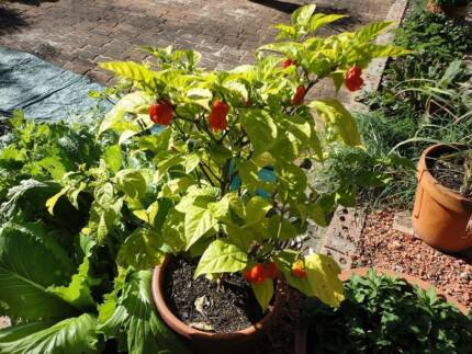 Carolina Reaper Chilli for Seed - Grow Your Own! Norah Head Wyong Area Preview