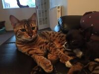 1 year old kc reg male bengal cat