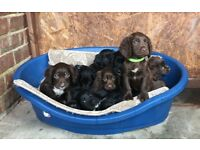 Cocker spaniel puppy's ready to leave now 🐶3 left!!!