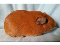 Rescue Guinea pigs needing new homes