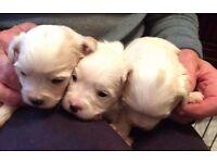 2 beautiful girl chorkie pups