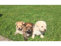 Pomeranian cross Bichon frise pups for sale