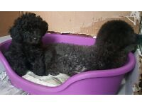 10 weeks pure black female toy poodle looking for a new home