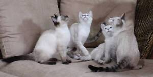 Little Paws Kitten Rescue- Double double trouble! Jimboomba Logan Area Preview