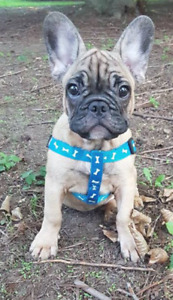 Pure Breed  Red French Bulldog Puppies Ready for adoption