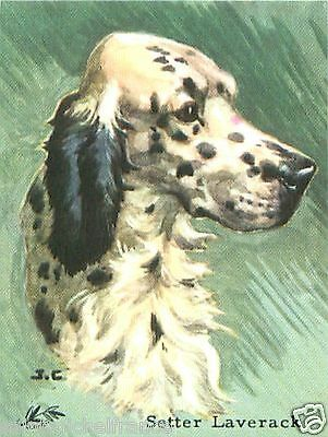 Card bon point english setter anglais laverack chien de chasse hunting dog 60s