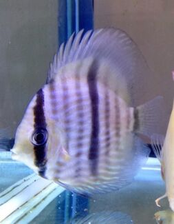 Wild heckle discus  Hillarys Joondalup Area Preview