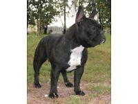 French bull dog girl