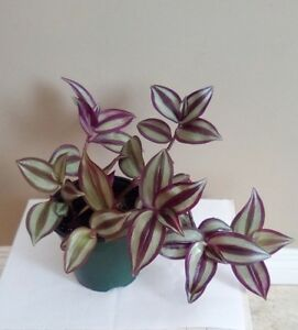 Purple Inch Plant