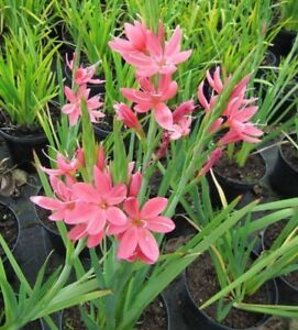 Kaffir Lily 10