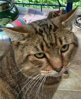 """Young Male Cat - Tabby - Brown: """"Soda"""""""