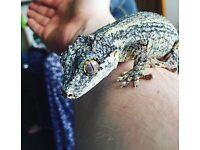 Gargoyle Gecko and Exo Terra Tank (45 x 45 x 60)